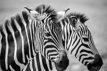 Zebra's in zwart wit compositie van astrid buys