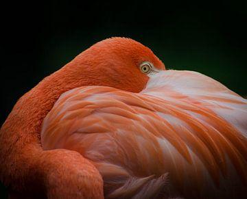 Flamingo sur Eduard van Holland