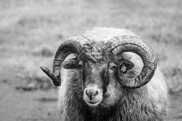 Schafe von Adri Rovers