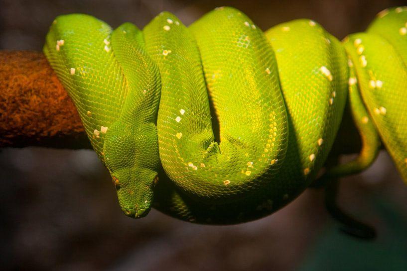 Snake sur Vincent van den Hurk