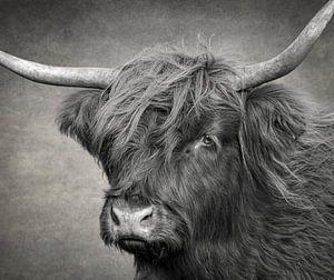 Kopf einer schottischen Highlander-Kuh in Schwarz und Weiß