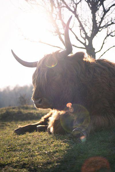 Le Highlander écossais sous le soleil du printemps sur Thom Brouwer