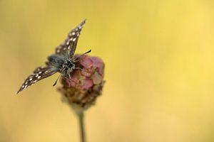 Aardbeivlinder van