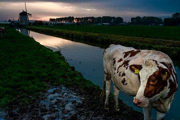 Polderkoe sur Tino van Dam
