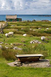 Schapen aan de Ierse kust van