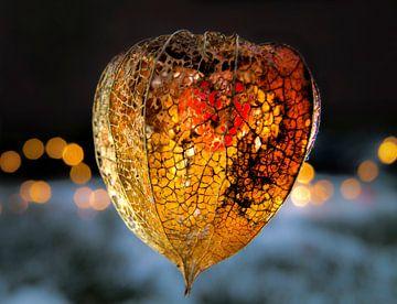 Lampionplant aan een winterse avond