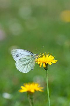 Geaderd vlindertje van Eelke Cooiman