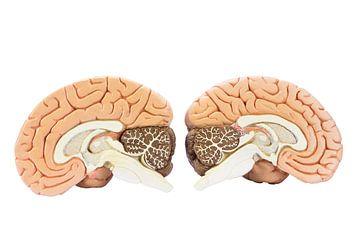 Twee helfden van het menselijk brein van