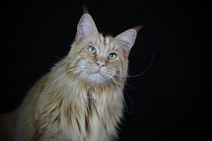 Staring Maine Coon.