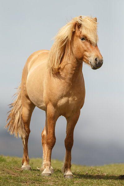 3b40ed9b688 IJslands Paard van Menno Schaefer