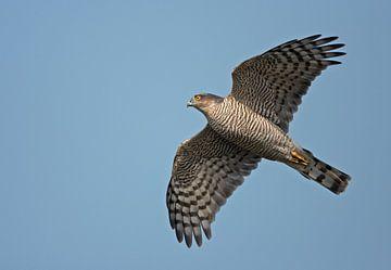Eurasian Sparrowhawk in fligh von Beschermingswerk voor aan uw muur