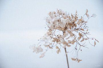 Hortensie im Schnee 8 von Ilse Dijkstra