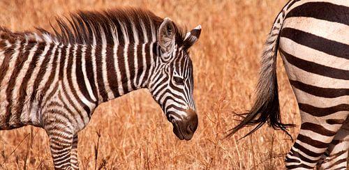 jonge zebra van