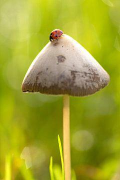 lieveheersbeestje op paddenstoel van Lammie Postmus