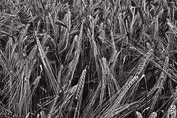 Tarweveld in zwartwit von Hans Kwaspen