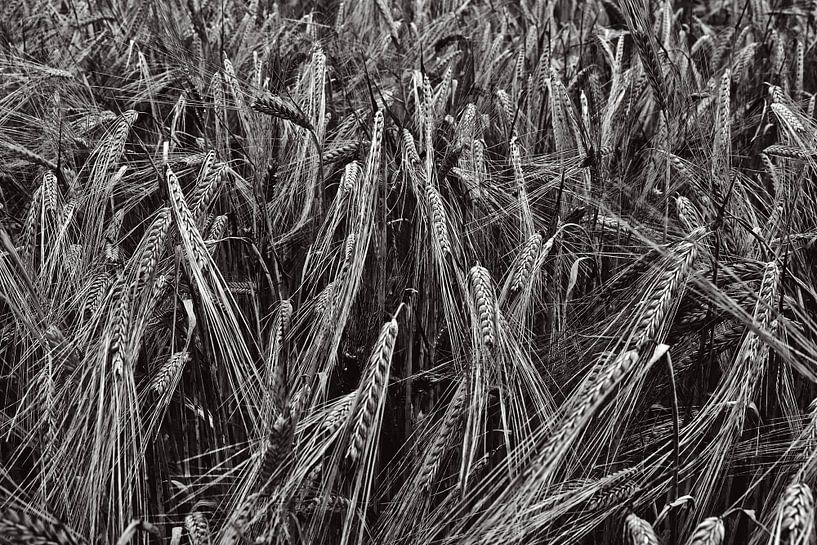 Tarweveld in zwartwit van Hans Kwaspen