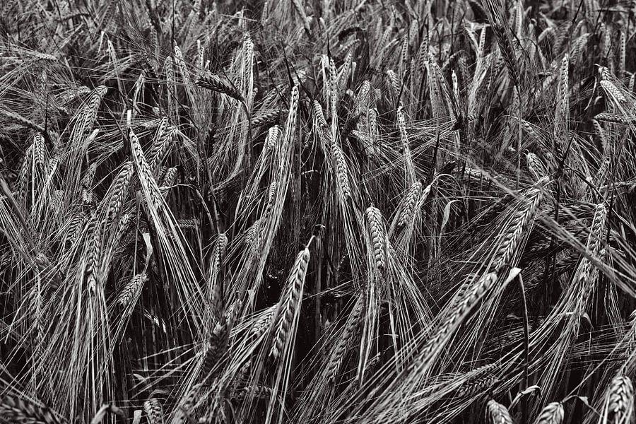 Tarweveld in zwartwit