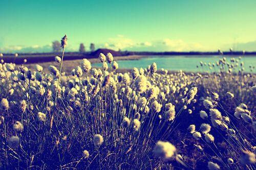 Van katoen gras in een heidegebied