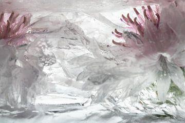Weiße Kornblumen in Eis 1 von Marc Heiligenstein