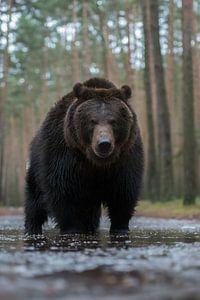 Braunbär ( Ursus arctos, Europäischer Braunbär ), Auge in Auge mit dem Bären, Europa.