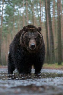 Bruine beer ( Ursus arctos, Europese bruine beer ), oog in oog met de beer, Europa. van wunderbare Erde