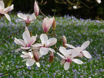 Blühender Tulpenbaum - Magnolienblüten im Frühling (Magnolien) von Barbara Hilmer-Schroeer