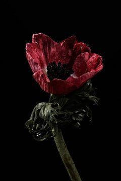 Fleur rouge avec gouttes d'eau