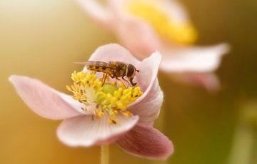 Bij op roze bloem bij zonlicht van Anam Nàdar