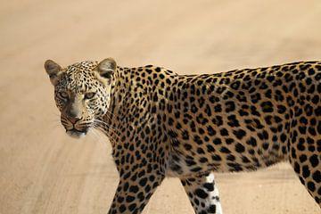 Léopard Afrique du Sud sur Ralph van Leuveren