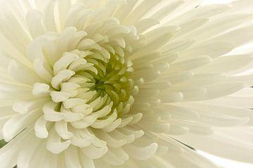 Chrysant / Chrysanthemum sur