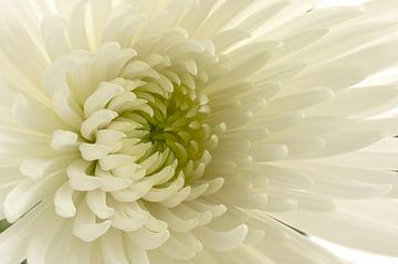 Chrysant / Chrysanthemum sur Tanja van Beuningen