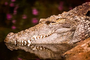 Krokodil  van Dennis Graafland