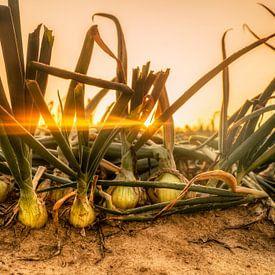 Champ d'oignons au lever du soleil sur John Kreukniet