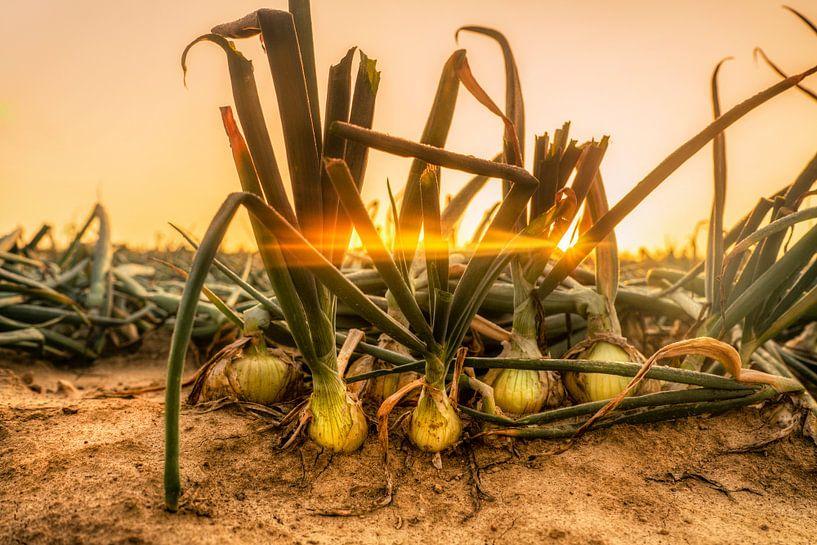 Uienveld bij zonsopkomst van John Kreukniet