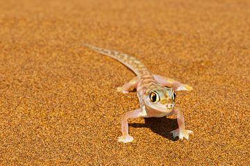 Woestijngekko in de Namib woestijn van Erwin van Liempd