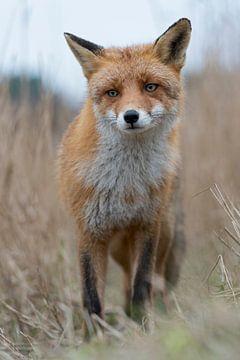 Red Fox *  Vulpes vulpes * sur wunderbare Erde