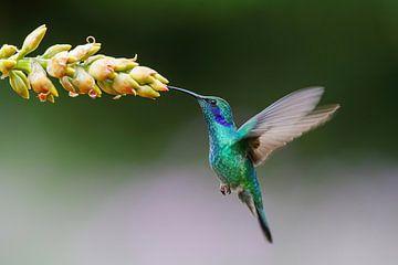 Kolibrie vliegt bij bromelia van Henk Bogaard