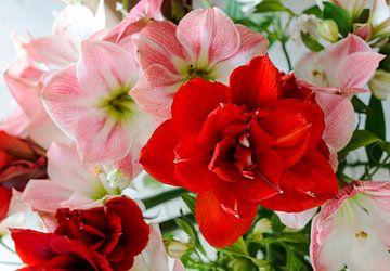 amaryllis bloemen in rose en rood sur Compuinfoto .