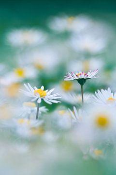 Minzgänseblümchen von Hiske Boon