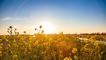 Goudgele zonsondergang in een veld Koolzaad van Peter Boon