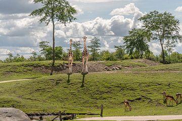 """Tierwelt """"Giraffen"""" von ina kleiman"""