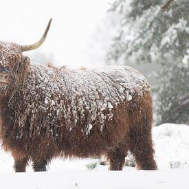 Highlander écossais dans la neige sur Laura Vink