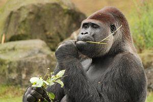 Gorilla zit lekker te smikkelen