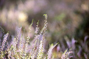 Blühendes Heidekraut, hergestellt auf der Veluwe von Karijn Seldam