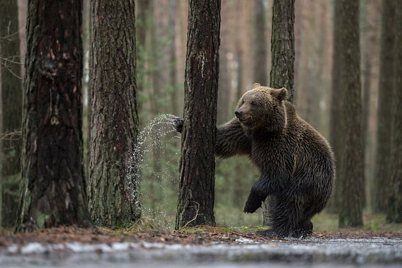 European Brown Bear ( Ursus arctos ),  fighting with a tree, looks funny
