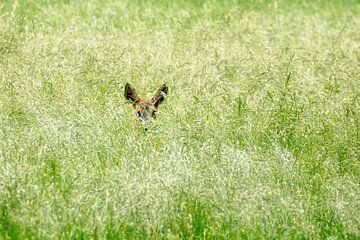 Ree hinde in het gras van Frans Lemmens