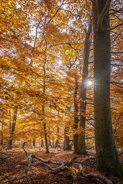 Herbstsonne in den Buchenwäldern im Taunus van