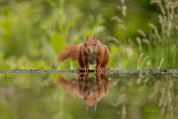 Écureuil au bord de l'eau