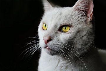 Die weiße Katze mit den schönen gelben Augen von Samira Uddin