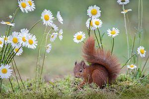 jong eekhoorntje tussen de margrieten